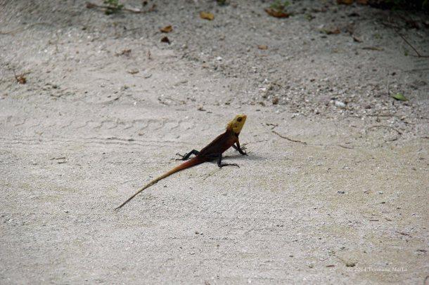 travel Maldives lizard