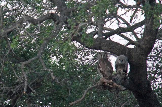 travel Africa giant eagle owl