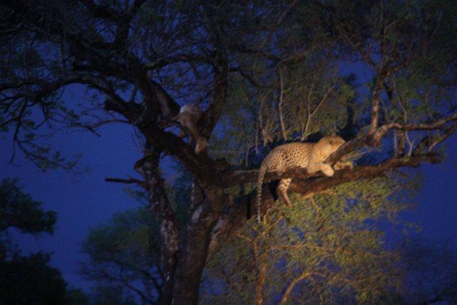 travel Africa Kruger leopard