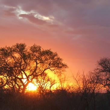 Yeats wattle tree Africa acacia
