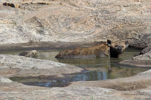 Kruger Africa hyena