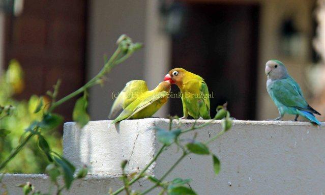Spring Day lovebird feeding baby