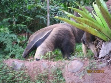 Amazon river ride 4 Anteater