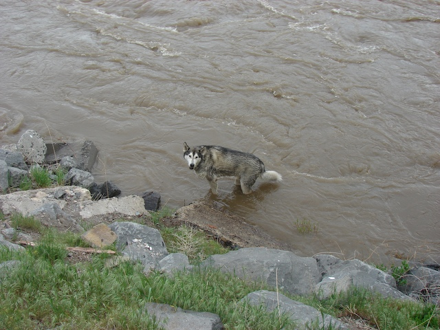 Rigby cools off in the river