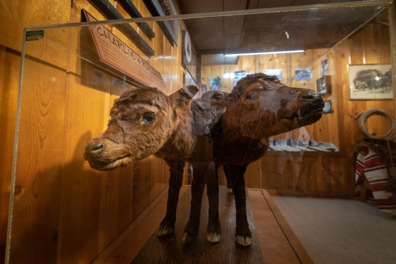 Two headed calf at the Yellowstone County Museum