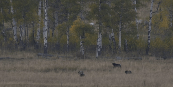 12 bears caught on video outside Yellowstone