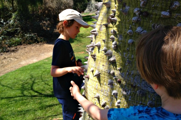"""The oddly named """"white floss silk tree"""" makes for a thorny hug."""