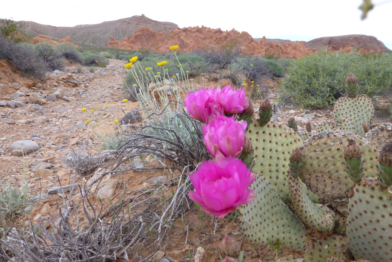 beavertail cactus flowers on the Pinnacles Trail in Valley of Fire State Park, Nv