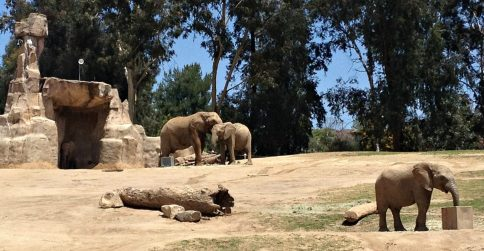 There are lots of elephants at the Safari Park in San Diego County