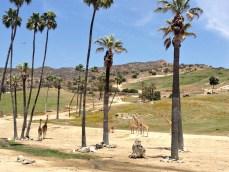 Giraffes from the Africa Tram