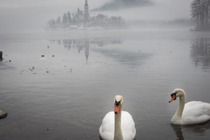 Bled Island with swans for trail around Lake Bled