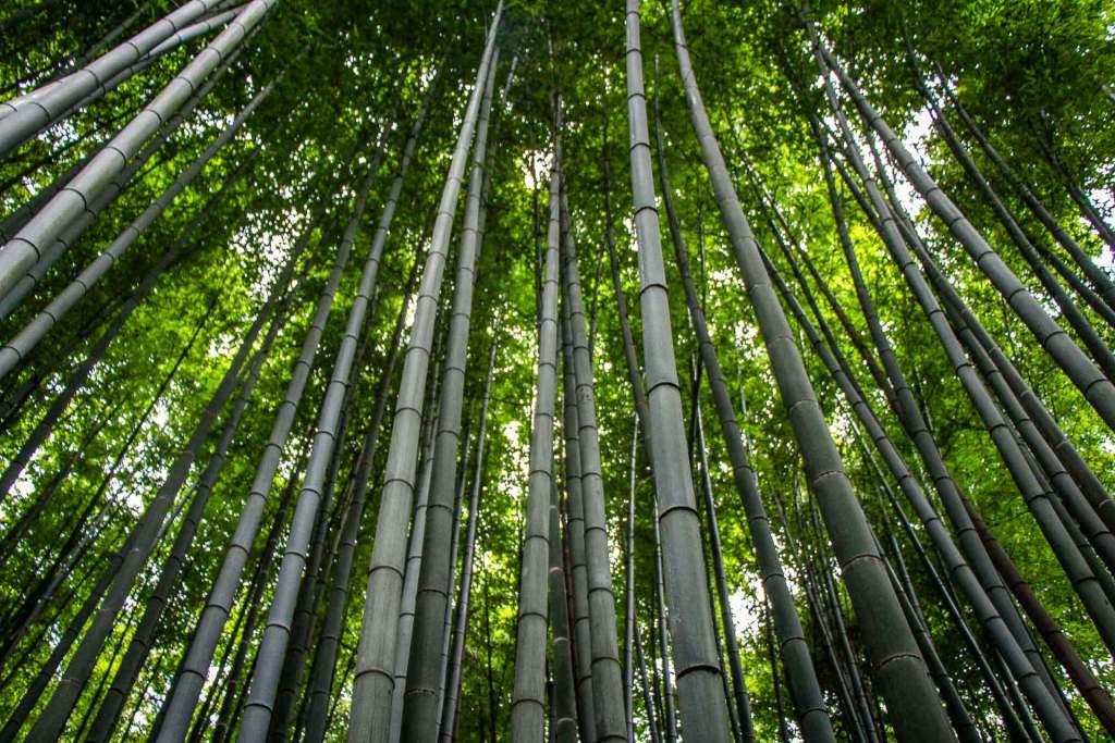 Arashiyama Bamboo Forest (1) Kyoto Family Can Travel