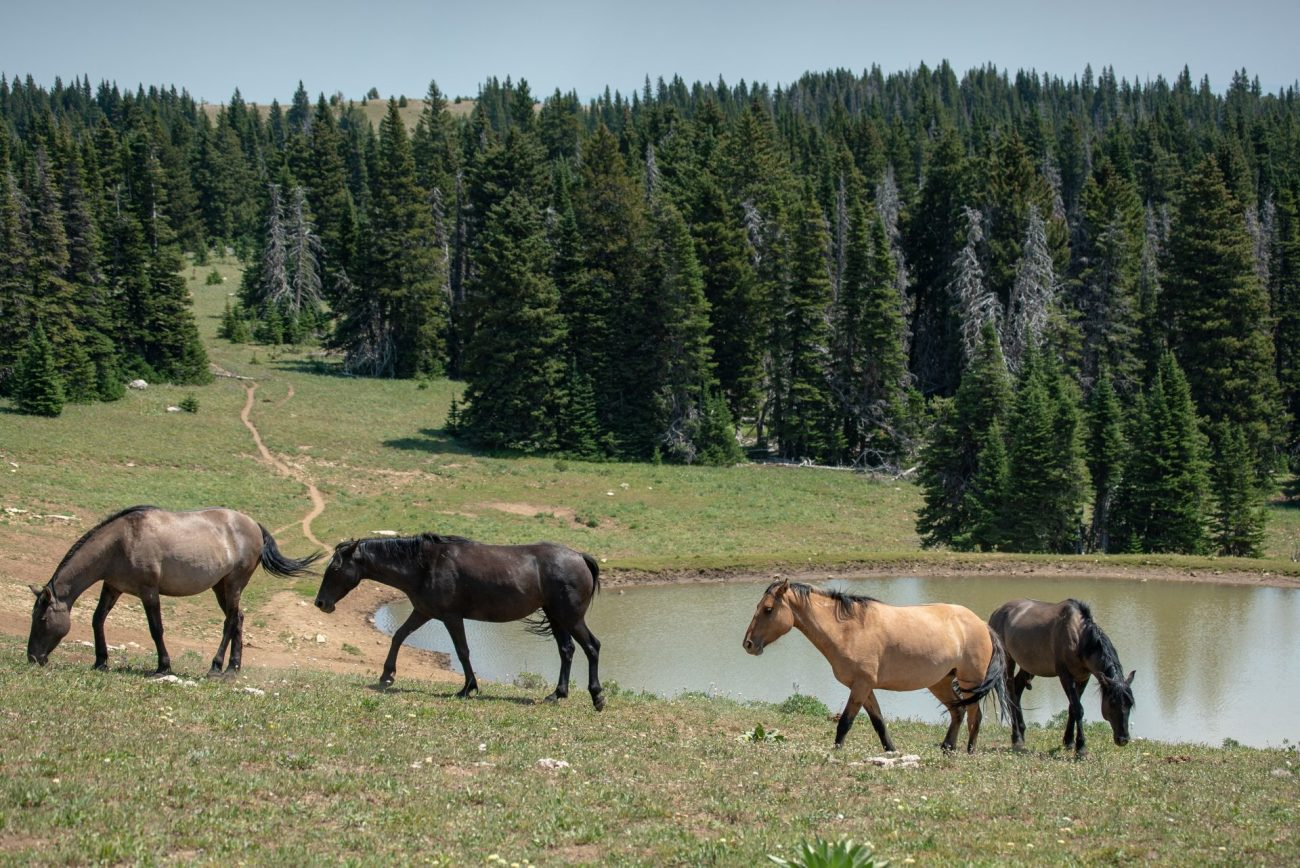 THE PRYOR MOUNTAIN WILD HORSE RANGE IS THE FIRST PUBLIC WILD HORSE REFUGE IN THE U.S.