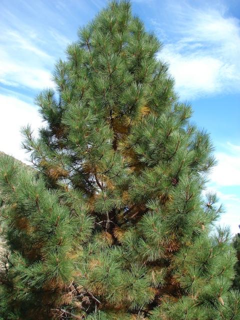 Two-needled pine