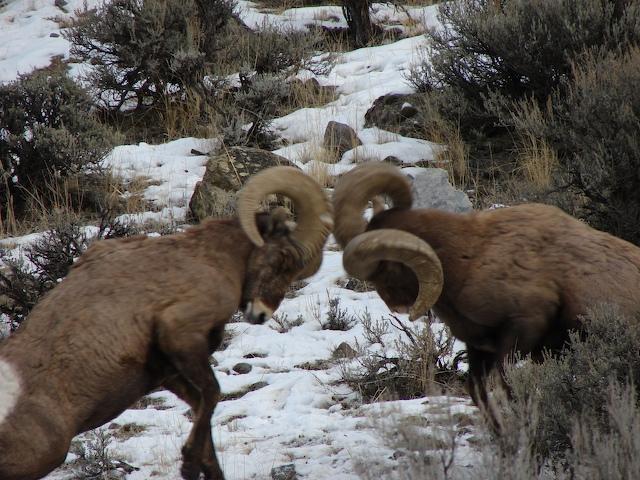 Big Horn Sheep butting heads