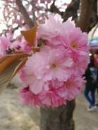 Flowers at the Hirosaki Cherry Blossom Festival