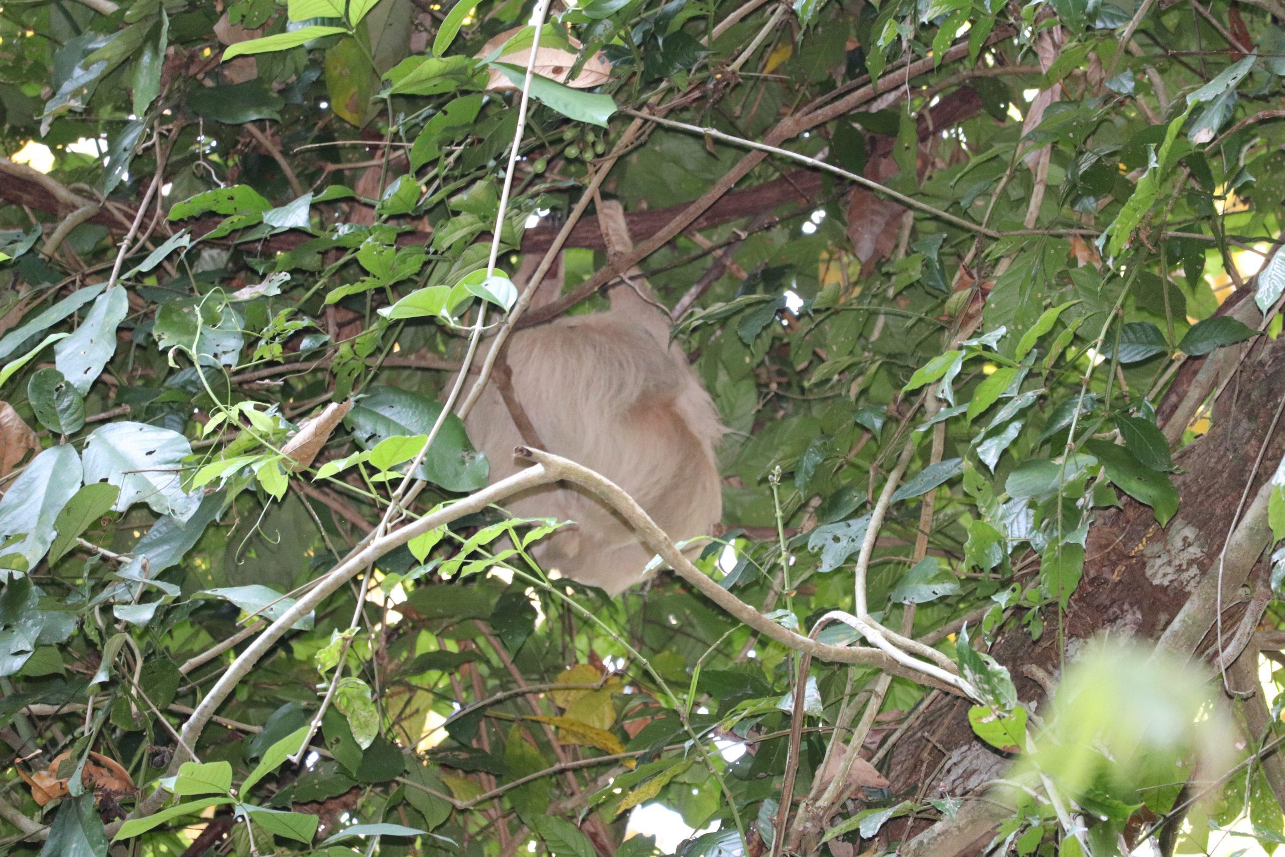 Visiting Manuel Antonio and Uvita: Sloth