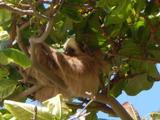 My first trip to Panama and saw a sloth