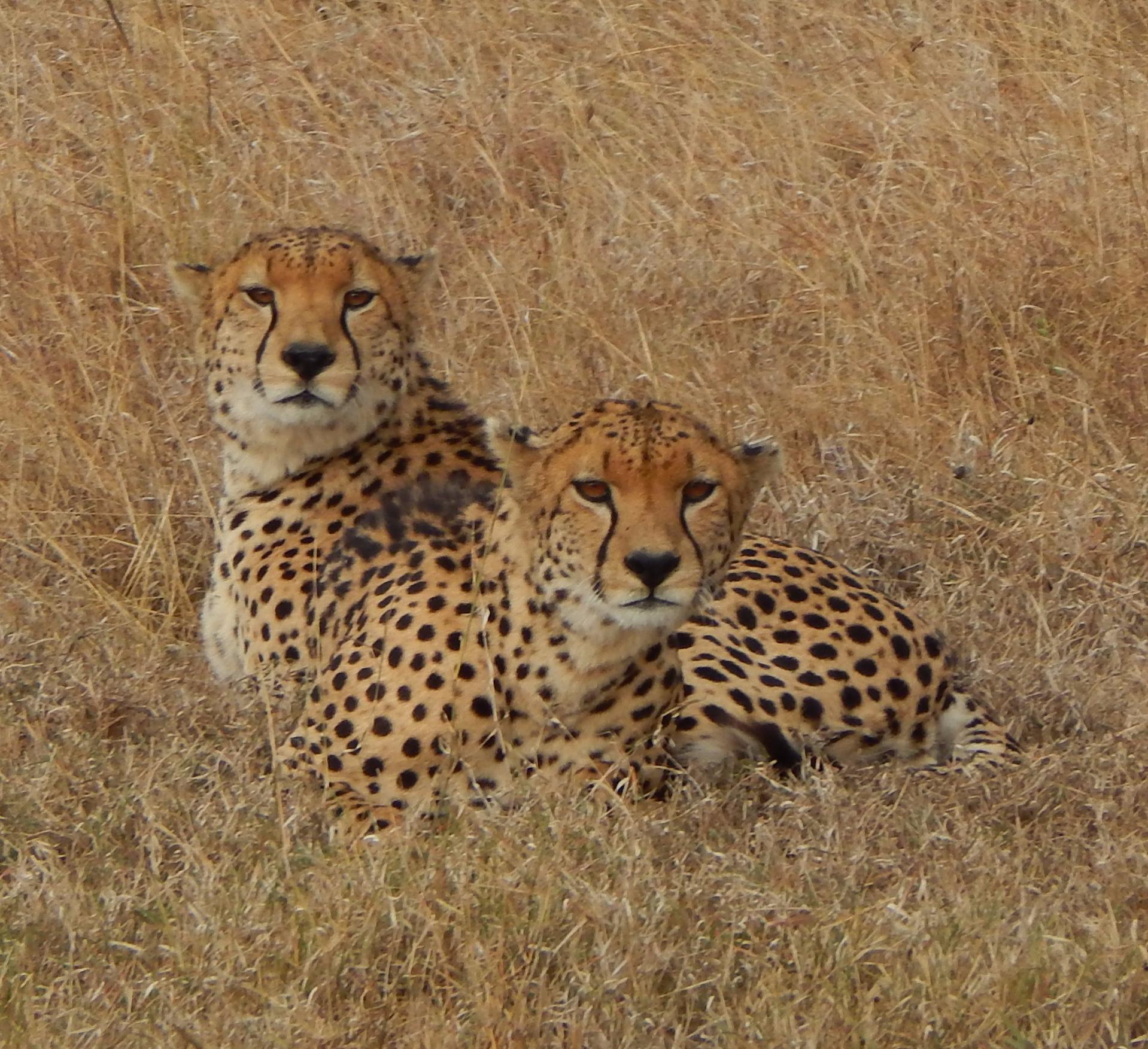 Visit Kenya and Tanzani and see cheetah