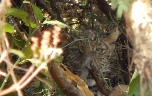 Visit Kenya and Tanzania  and see a leopard