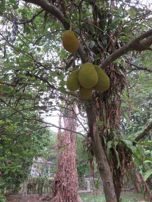 Jackfruit in the wild.
