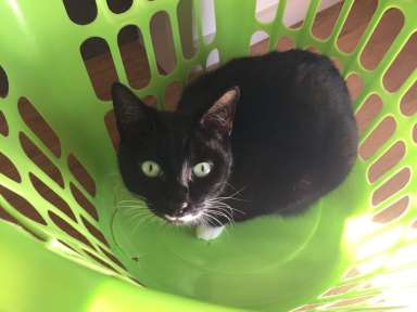 Maggie, a mostly black cat, hiding in the laundry basket