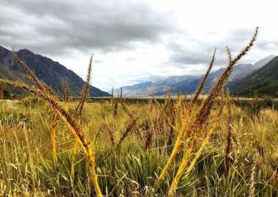Tall and Bright colored grass at Mount Cook National Park