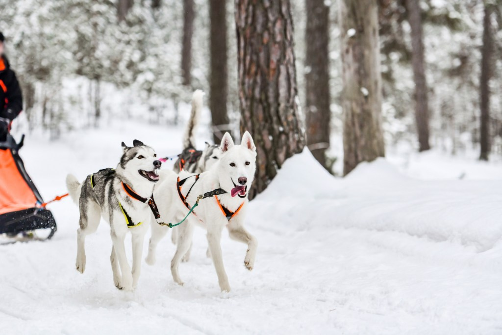 Siberian husky sled dog racing