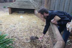 Feeding a Parma Wallaby