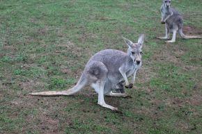 Kangaroo & It's Joey
