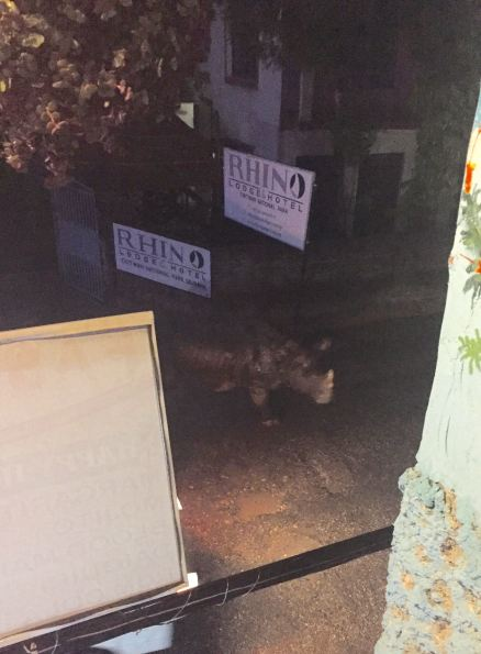 Rhino Roaming the Streets (Outside Rhino Lodge Hotel)