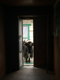 Yak Attempting to Break In To Our Tea House