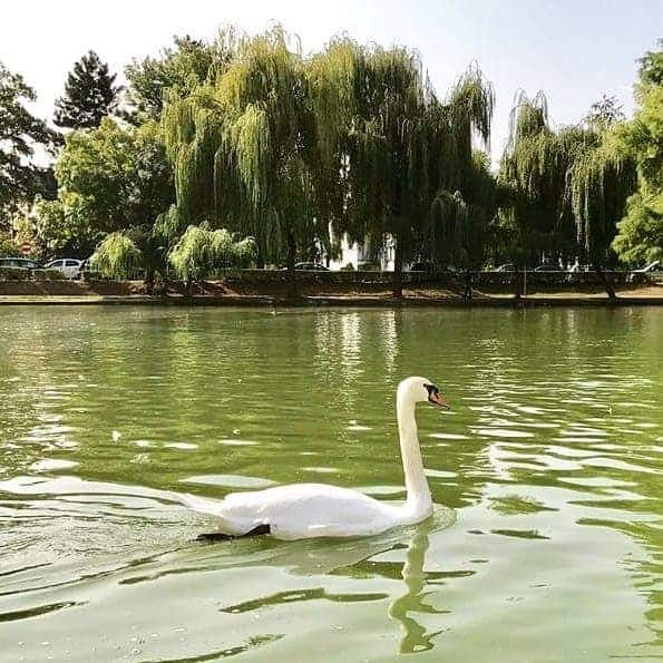 Swan in Central Park, Cluj