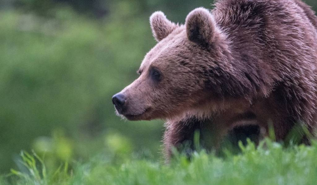 Young Romanian brown bear in the forest of Transylvania.
