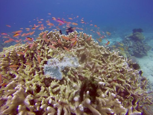 komodofish