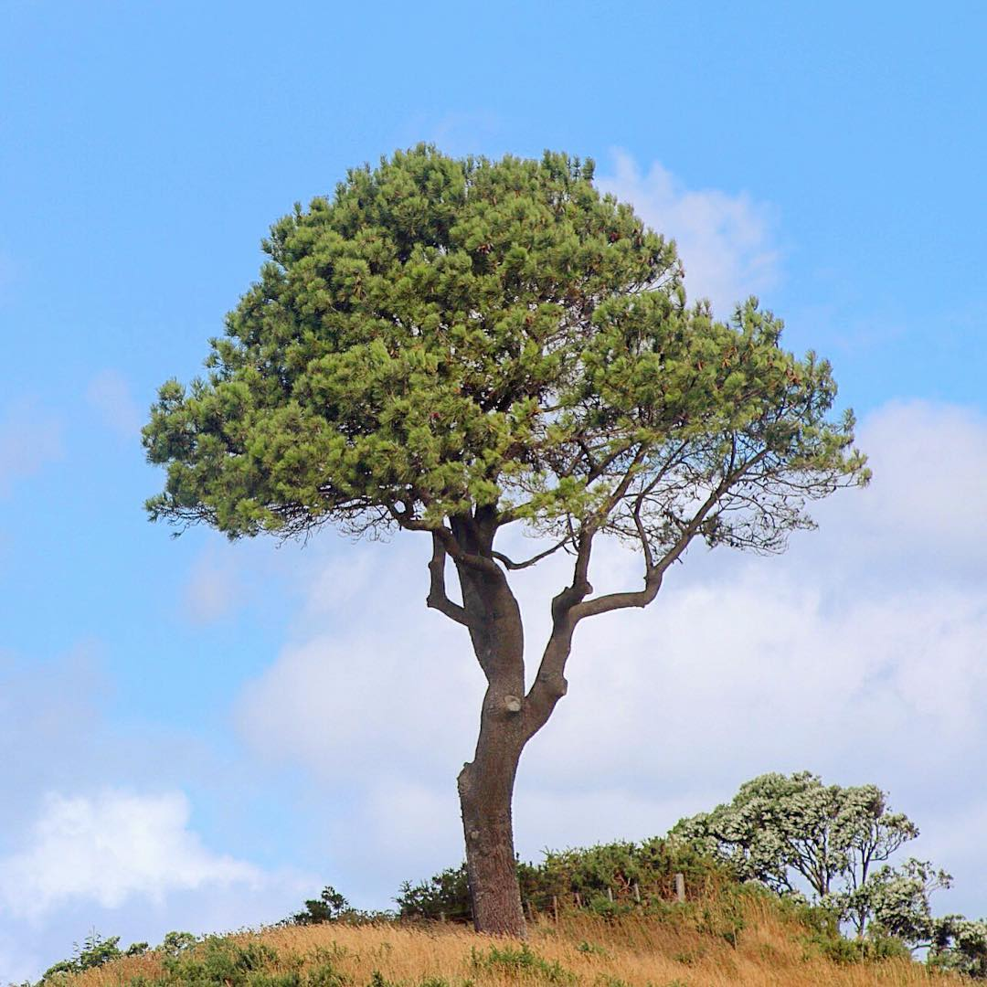 New Zealand newzealand lonetree tree treeonhill nature naturelover northisland hilltophellip