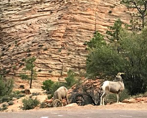 Bighorn Sheep in Zion National Park