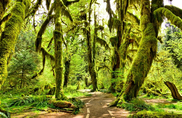Path through trees dripping with bright green moss in the Hall of Mosses in Olympic National Park
