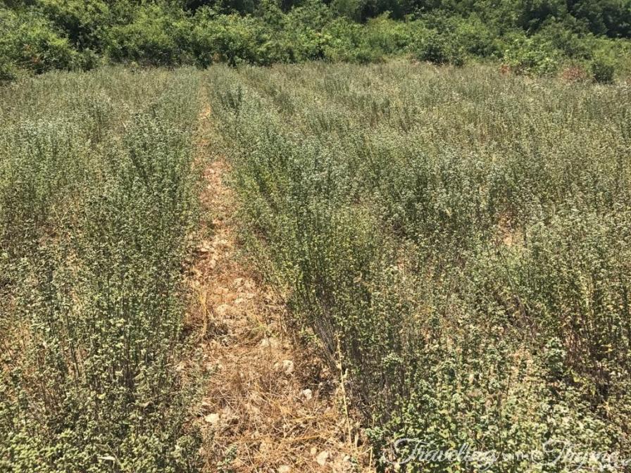 Lebanon Zaatar Thyme Lebanese Farmer