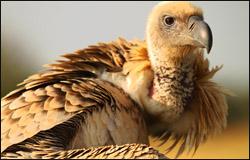 Francolin_Cape-Vulture