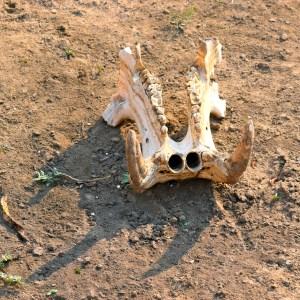 walking safari hippo skull