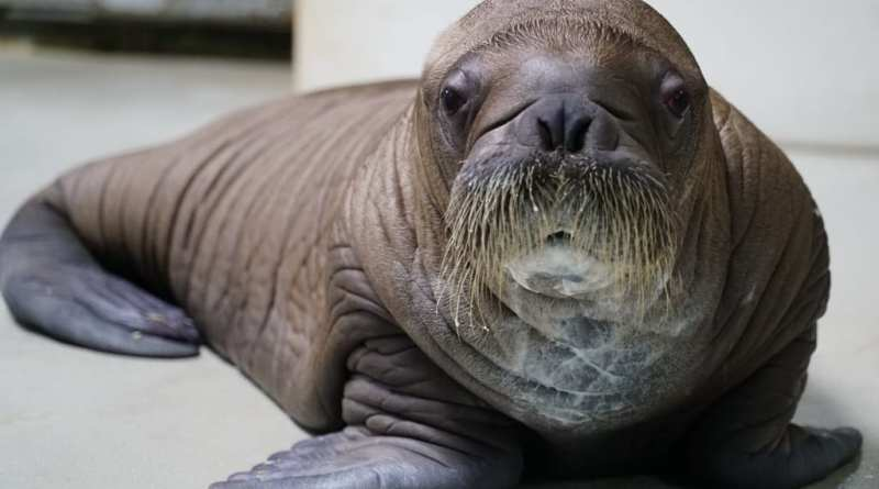 Baby Walrus at SeaWorld Orlando