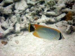 Chevon Butterfly fish