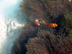 True Maldivian Clownfish