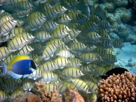 School on convict tangs being chase by a powder blue tang
