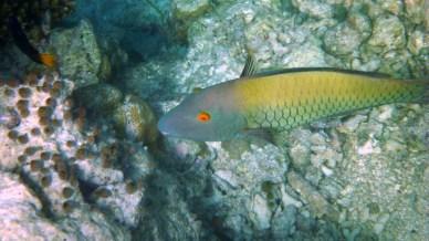 Female Bicolour Parrotfish
