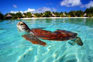 Honu at Le Meridien Sea Turtle Sanctuary