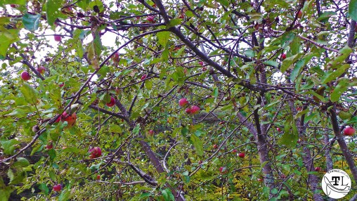 Russell Colbath's Apples