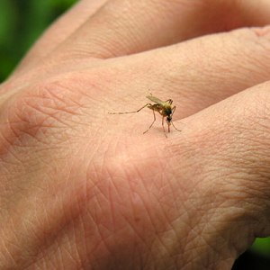 Photo: Mosquito biting