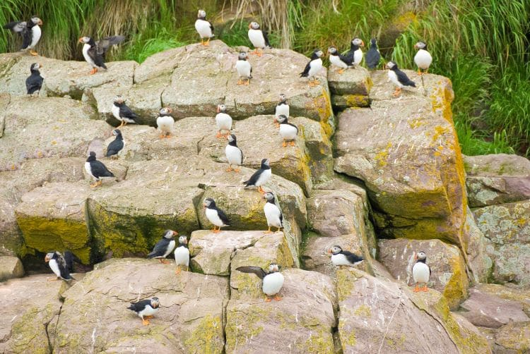 Puffins lounge on rocks in Witless Bay Ecological Reserve in Newfoundland, Canada
